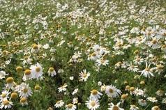 Feld mit Kamille (Matricaria chamomilla)